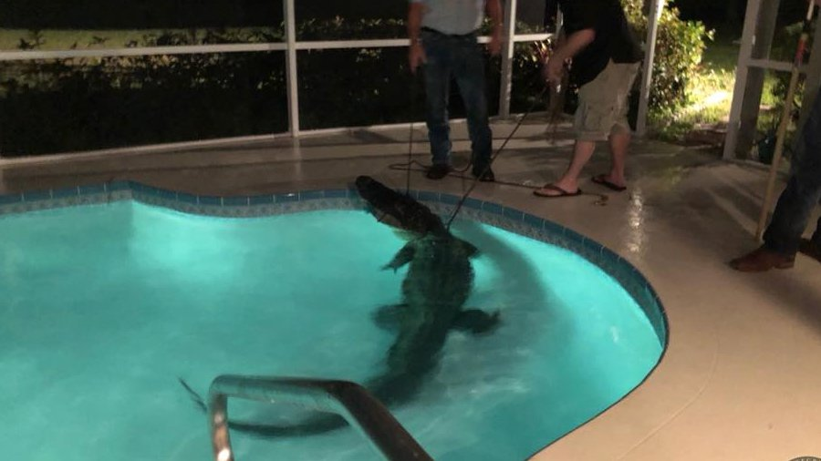 Video Shows 11 Foot Alligator Taking Swim In Florida Pool Fort Smith Fayetteville News