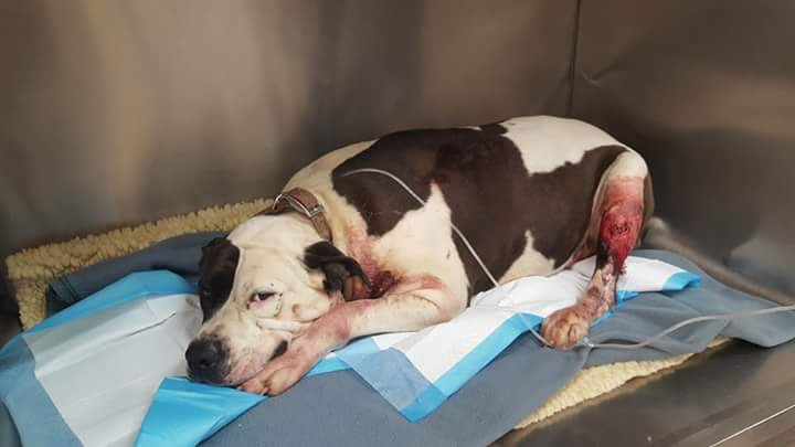Photo Courtesy: Kyla Davis (pit bulls' owner)