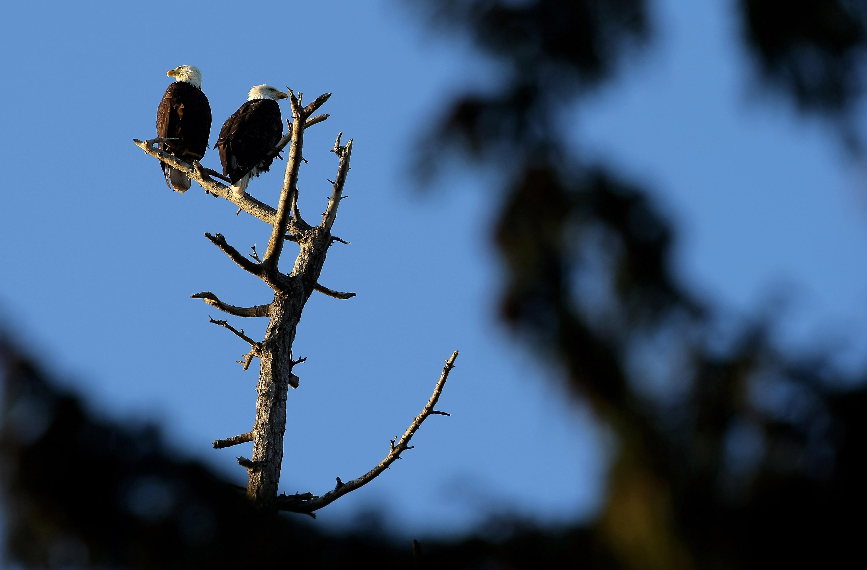 Where Eagles Flirt: A DC Tale Of Love, Loss And Raccoons thumbnail
