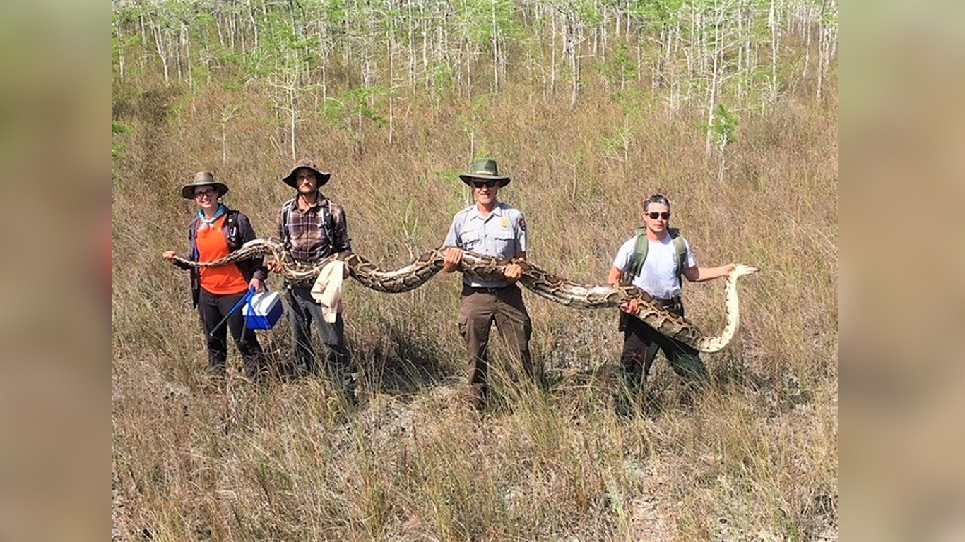 Scientists Just Captured A Record 17-Foot-Long Python In Florida thumbnail