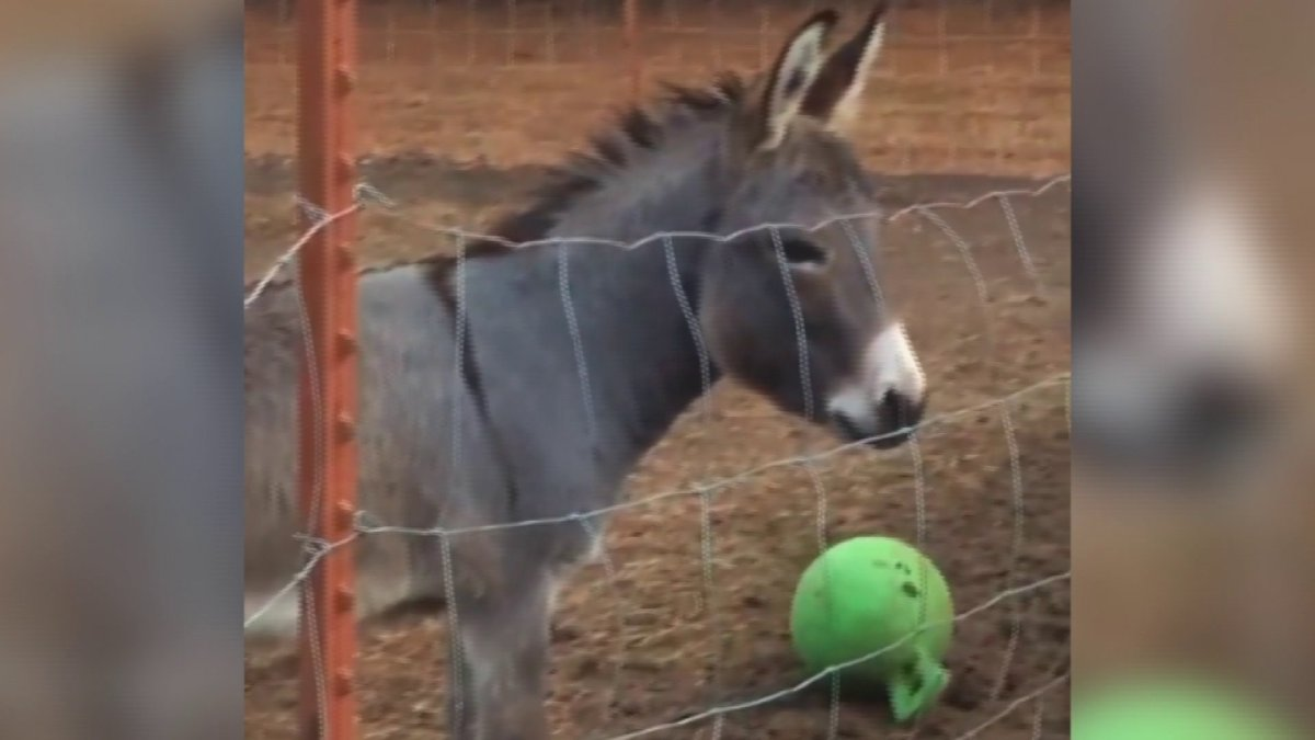 A Donkey, Named Donkey, Loves Playing Ball
