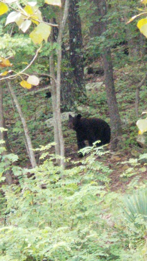 A bear was spotted along East Lancashire Boulevard in Bella Vista on Tuesday, Aug. 27, 2019. (Courtesy of Aaron Hull)