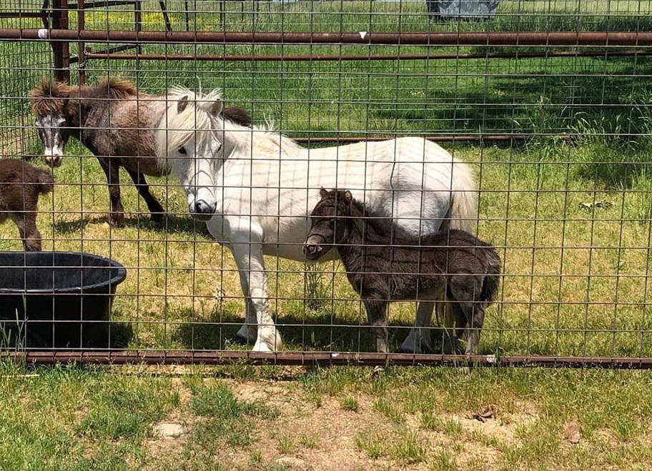 Piper the pony, several months ago (photo courtesy of Palmetto Pine Equine)