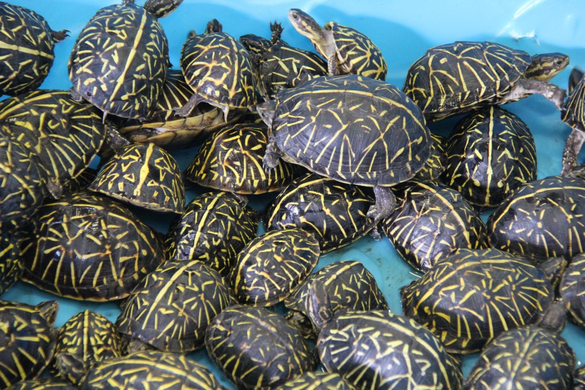 Two suspects have been charged for smuggling thousands of turtles and selling them illegally.